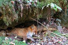 TOTER JUNGFUCHS . UNLUCKY YOUNG FOX