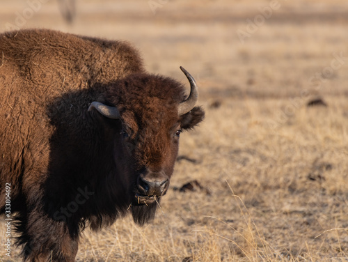 A Bison on the Plains of Colorado with Deformed Horn Slika na platnu