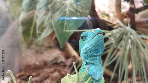 Portrait of funny colorful lizard looking through glass Poster Mural XXL