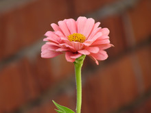 Pink Flower On A Red Brick Bac...