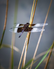 A Widow Skimmer Dragonfly Rests Among Some Reeds
