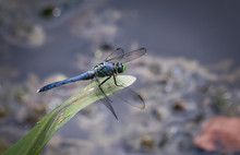 A Blue Dasher Dragonfly In Rep...