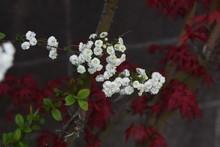 Bridalwreath (Spiraea Prunifolia) / Rosaceae Deciduous Shrub.