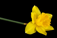 Flower Of Yellow Daffodil (narcissus), Isolated On Black Background