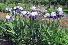 Blue Flowers In The Garden