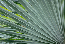 Close Up Of Palm Leaves In A G...