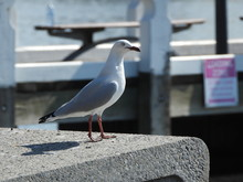Proud Seagull At The Pier