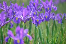 Purple Iris Flower On Green Background  Beautiful Violet Flower - Iris Blooming In The Garden.