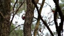 A Beautiful Young Woodpecker W...