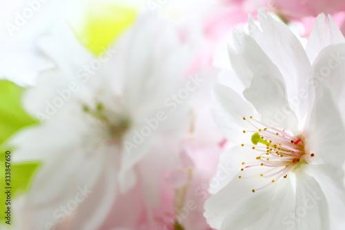 Photo Nara-no-yaezakura=double-cherry-blossoms