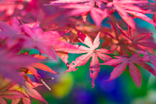 Beautiful Red Japanese Maple L...