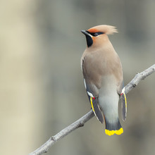 Bohemian Waxwing On Branch