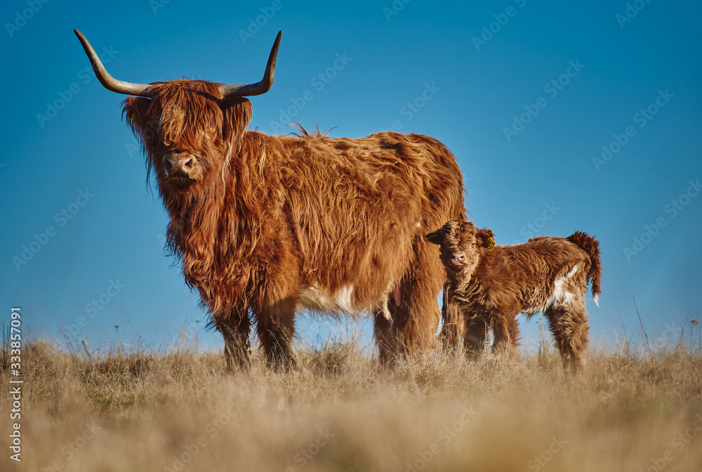 Fototapeta Highland beef Cow and Calf on Sunset