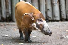 Bush Pig Or  Red River Hog (in...