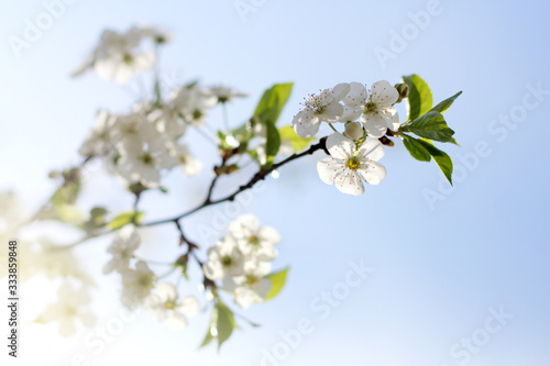 Tela branch of a blossoming cherry tree. spring dawn