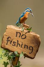 Kingfisher ( Alcedo Atthis ) O...