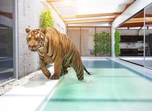 Tiger In Swimming Pool