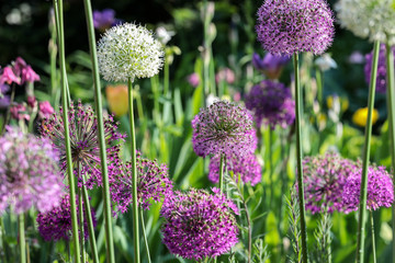 Fototapeta Ogrody Beautiful Purple and White Allium in their natural Environment in the perennial cottage garden