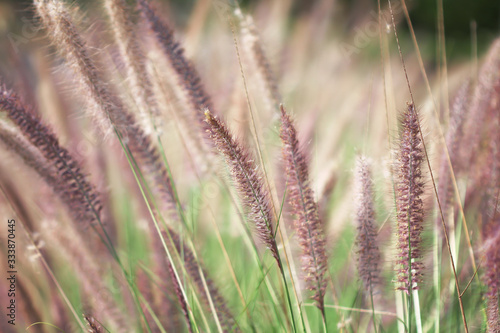 Vászonkép Purple needle grass flowers blooming  in nature garden on background