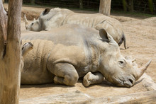 Two Southern White Rhinos (aka Square-lipped Rhinos) Resting Next To Each Other