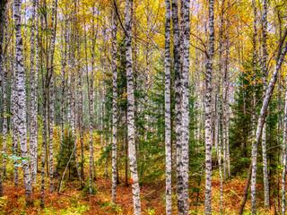 Fototapeta Brzoza forest with birch trees