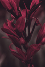 Darkened Canna Red Flowers Close-up, Stylized