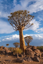 Giant Quiver Tree In The Forest, Namibia