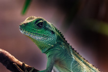 Chinese Water Dragon (Physigna...