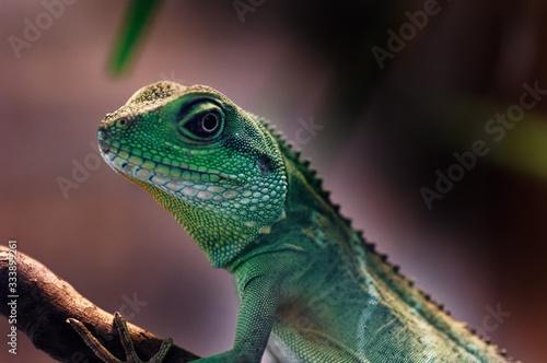 Chinese Water Dragon (Physignathus cocincinus) Canvas Print