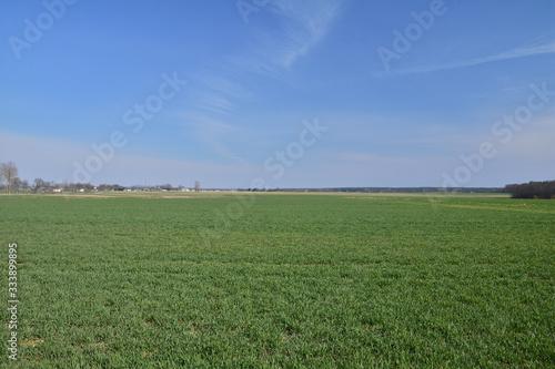 Obraz Zielone pole i skraj lasu na tle bezchmurnego, niebieskiego nieba. - fototapety do salonu