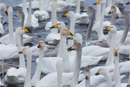 Photo A flock of Whooper swan and ducks wintering on the thermal lake Svetloe (Lebedin