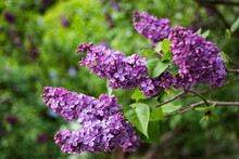 Syringa Vulgaris Common Lilac Blooming Flowers