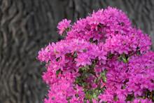 Rhododendron Nova Zembla Flowers