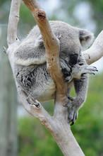 Sleepy Koala Sleeping In The F...