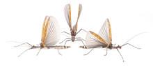 Phasmatidae  On A White Backgr...