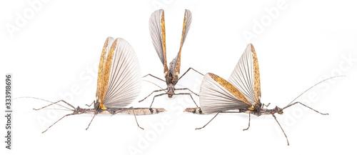 Fotografie, Obraz Phasmatidae  on a white background