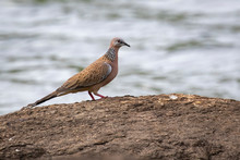 Image Of Dove Standing On A Rock On A Natural Background. Bird. Animal.