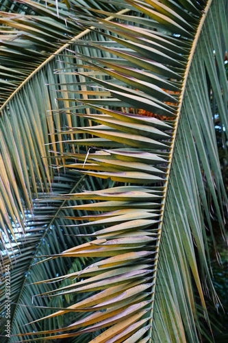 Photo yellow green palm leaves