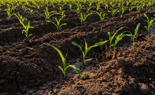 Growing Maize Seedling In The Agricultural Corn Field