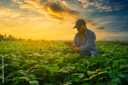 Farmer using smartphone in mung bean garden with light shines sunset, modern tec Fototapete