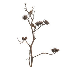 Dry Burdock, Thistle Isolated ...