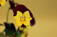Flower Called Johnny Jump Up O...