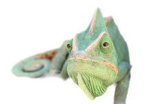 Closeup Of Green Chameleon Head