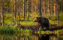 Male Brown Bear Standing By A ...