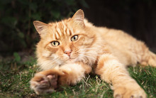 Close Up Of A Ginger Cat Lying On Grass In The Garden
