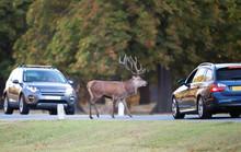 Red Deer In Urban Environment