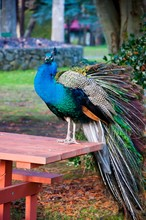 Vertical Picture Of A Peacock Standing On A Table In A Park Under The Sunlight