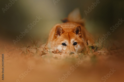 Fototapety, obrazy: red shiba inu dog lying down outdoors in autumn