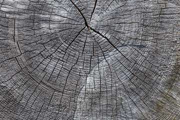 Wood texture of old cut tree trunk - wooden surface background