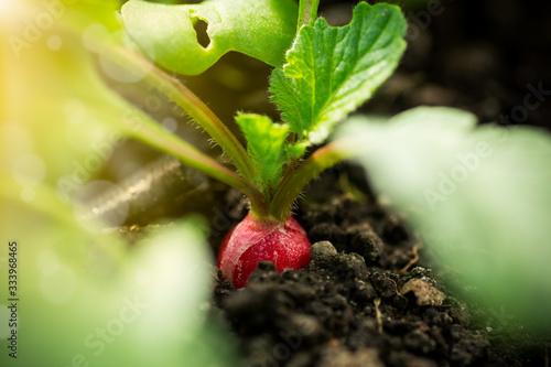 Fototapeta fresh young radish grows in the ground obraz